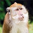 Впервые обезьяне успешно пересадили печень свиньи