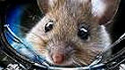 Мыши вернулись из космического полета с повреждениями печени
