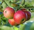 Яблоки обеспечивают нормальную деятельность печени